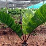 Anthurium Foliage