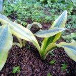 Sansaveria  Green  Verigated-2